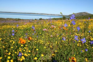 Flowers at Langebaan