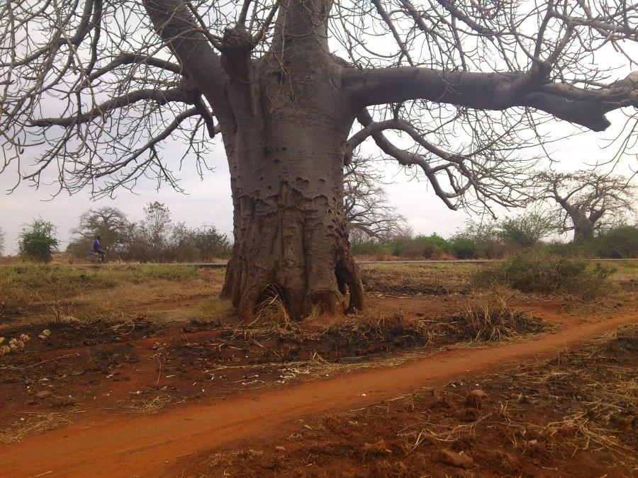 Boabab Trees Everywhere