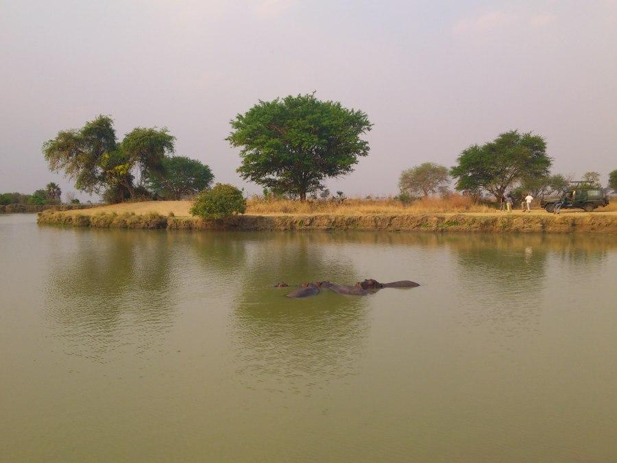 Hippos everywhere!